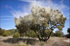 Cedar Pollinating